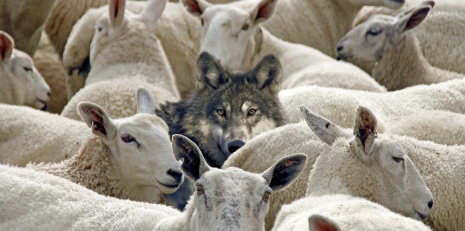 Cosa può insegnarci la Storia della Chiesa a proposito dei lupi?